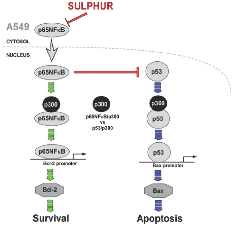 Figure 6: Schematic illustration depicting differential regulation of anti- and pro-apoptotic networks by sulphur in non-small cell carcinoma cells