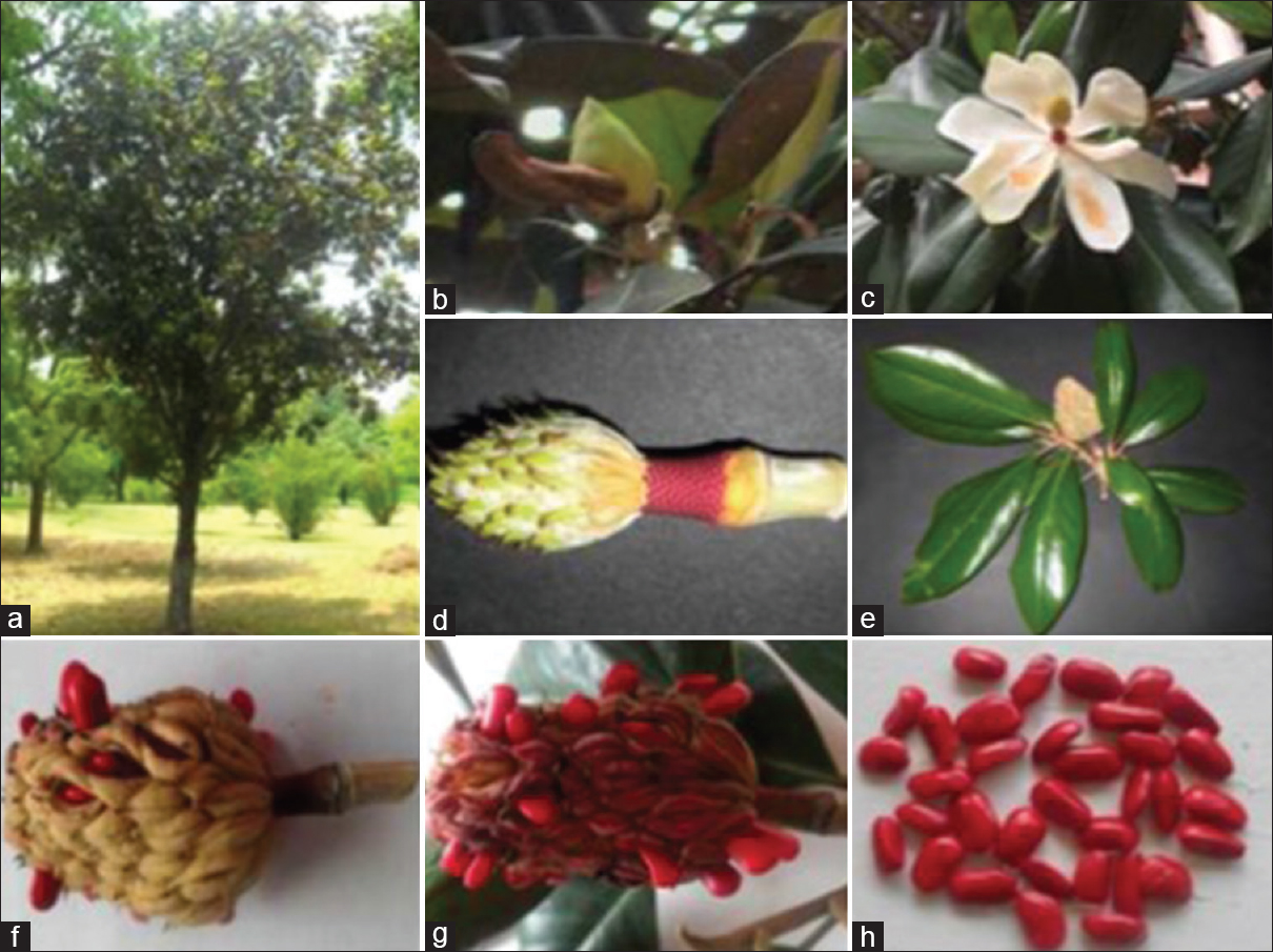 Figure 1: <i>Magnolia grandiflora</i> (a)Tree, (b) Bud, (c) Flower, (d) Fruit, (e) Flowering top, (f) Mature fruit just starting to open, (g) mature fruit with seeds opened, (h) seeds